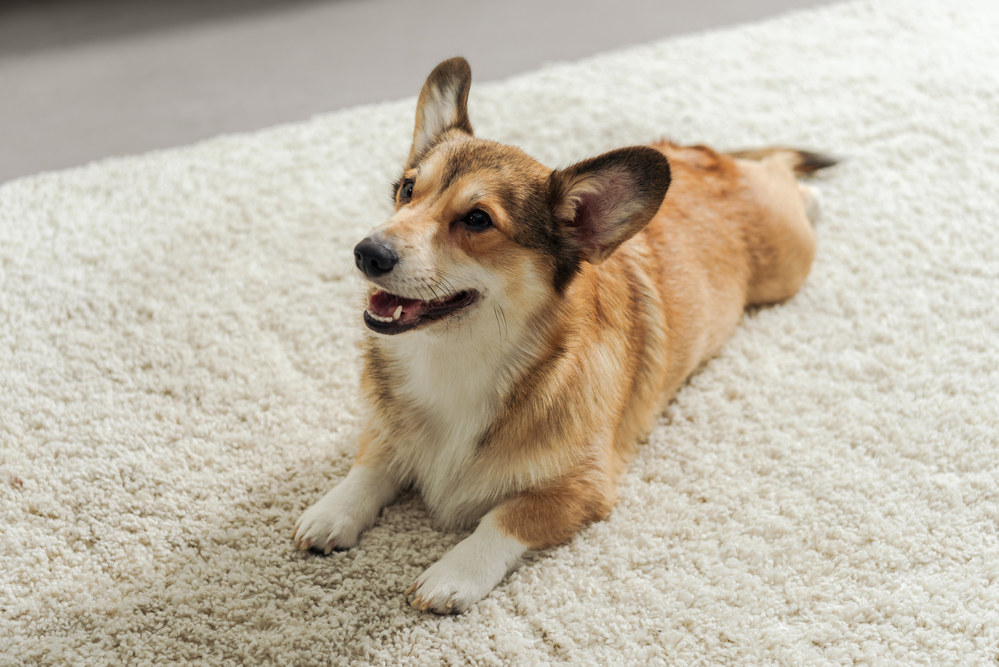 How To Keep Carpets Clean With Pets
