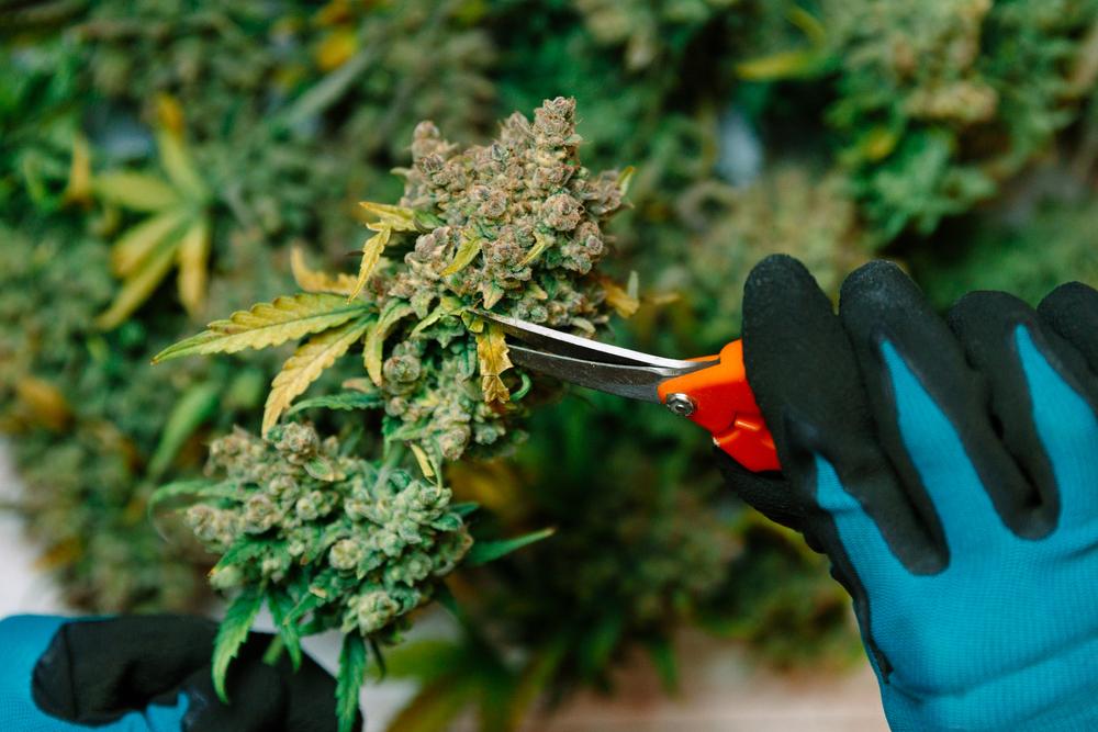 How to Prune Cannabis